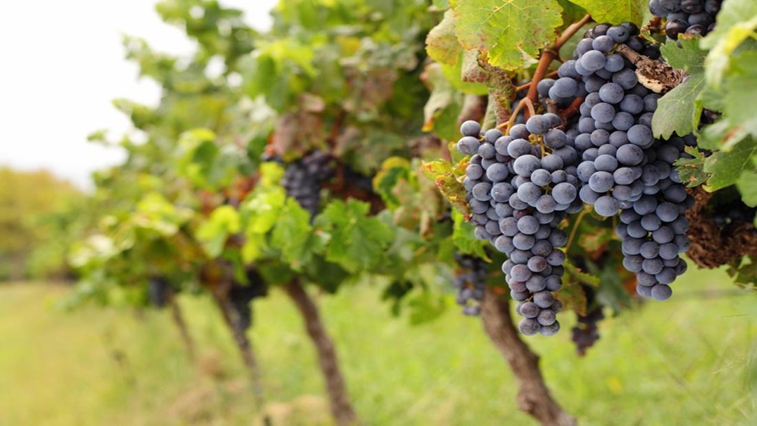hybrid wine grapes